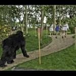 gorilla-chasing-girls in park